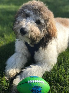 labradoodle breeder denver colorado