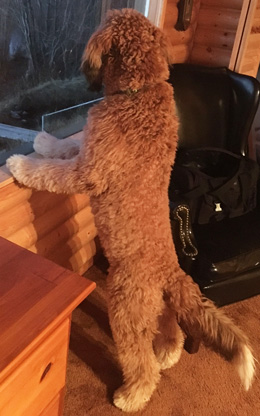 denver arvada labradoodle puppies