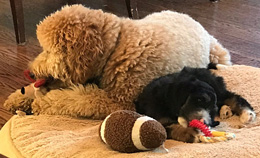 labradoodle breeders denver boulder colorado