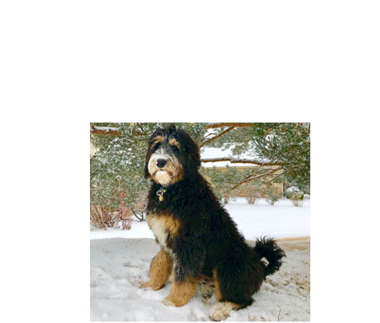 bernedoodle breeders denver boulder colorado
