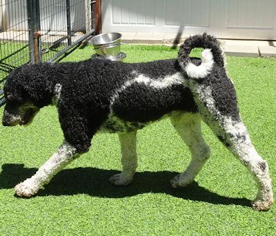 standard poodle stud denver colorado
